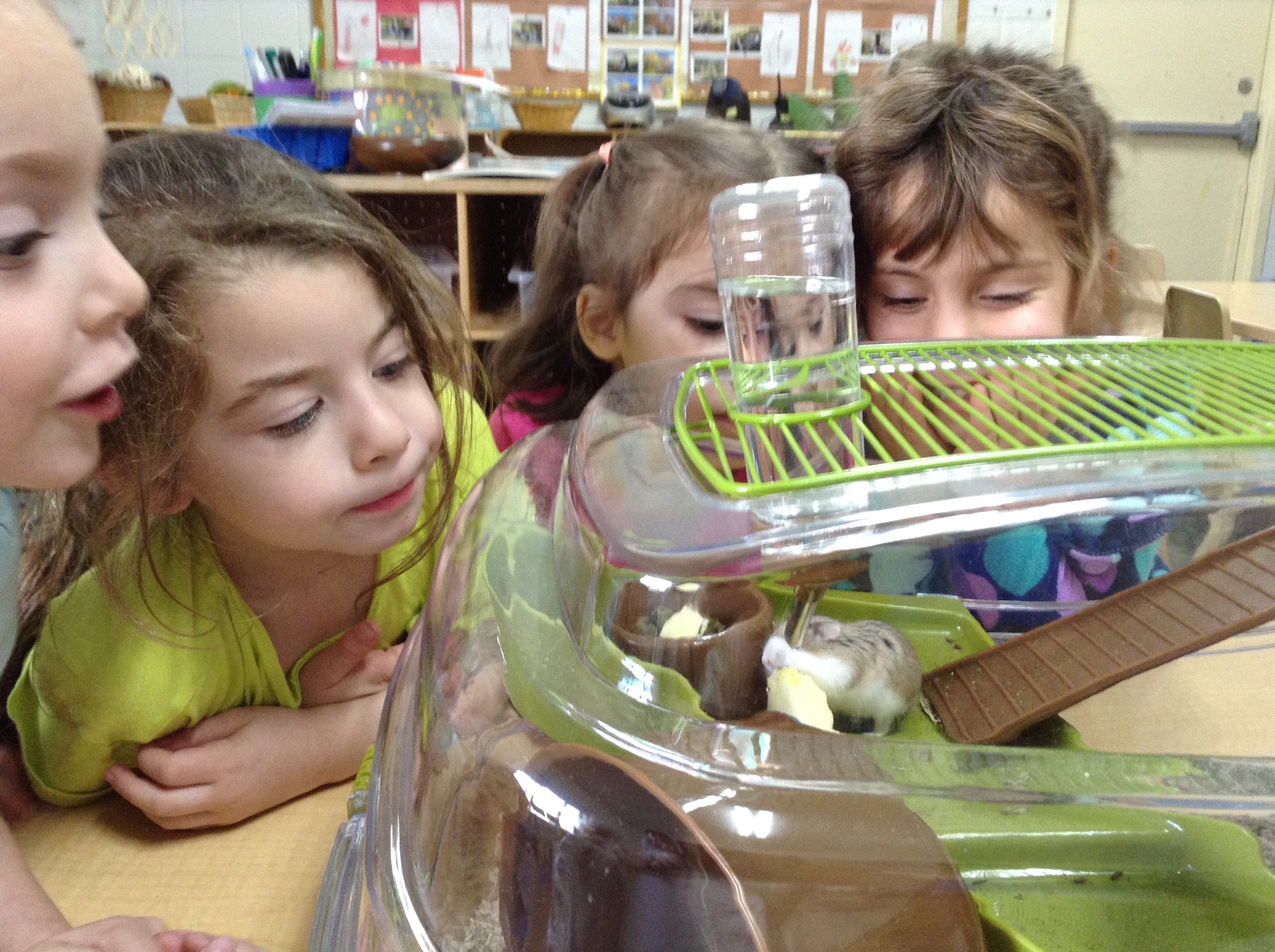 Observing Pepper the hamster. (Pre-K)